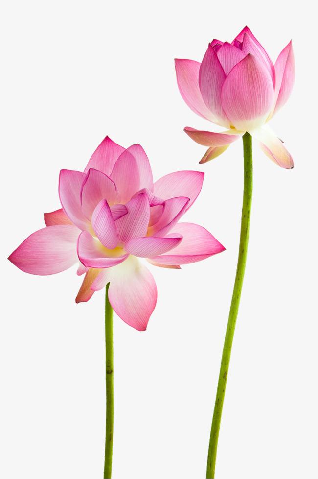 Lotus flowers, Flowers, Lotus, Flower PNG Image - Lotus Flower PNG HD