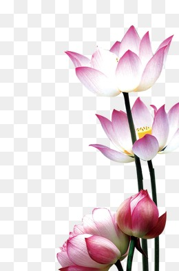 Lotus, Lotus, Flowers, Entertainment PNG and PSD - Lotus Flower PNG HD