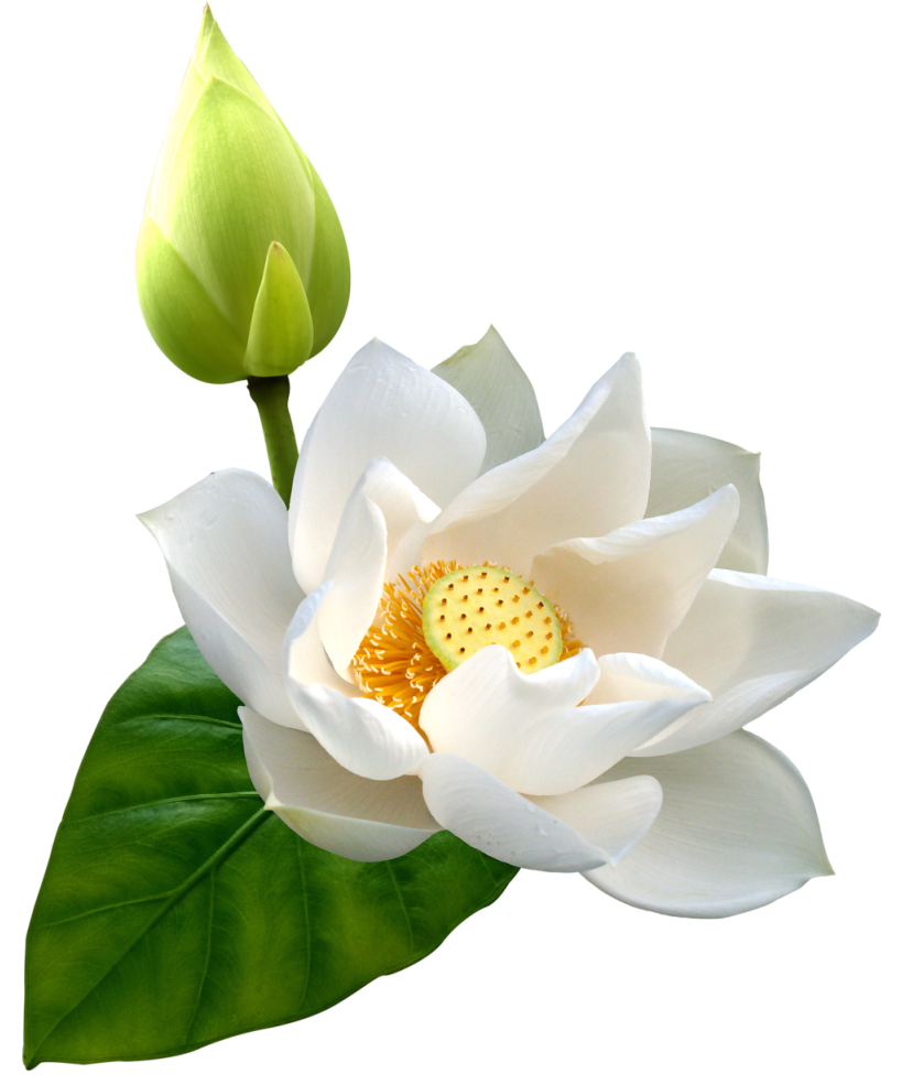 Lotus PNG HD