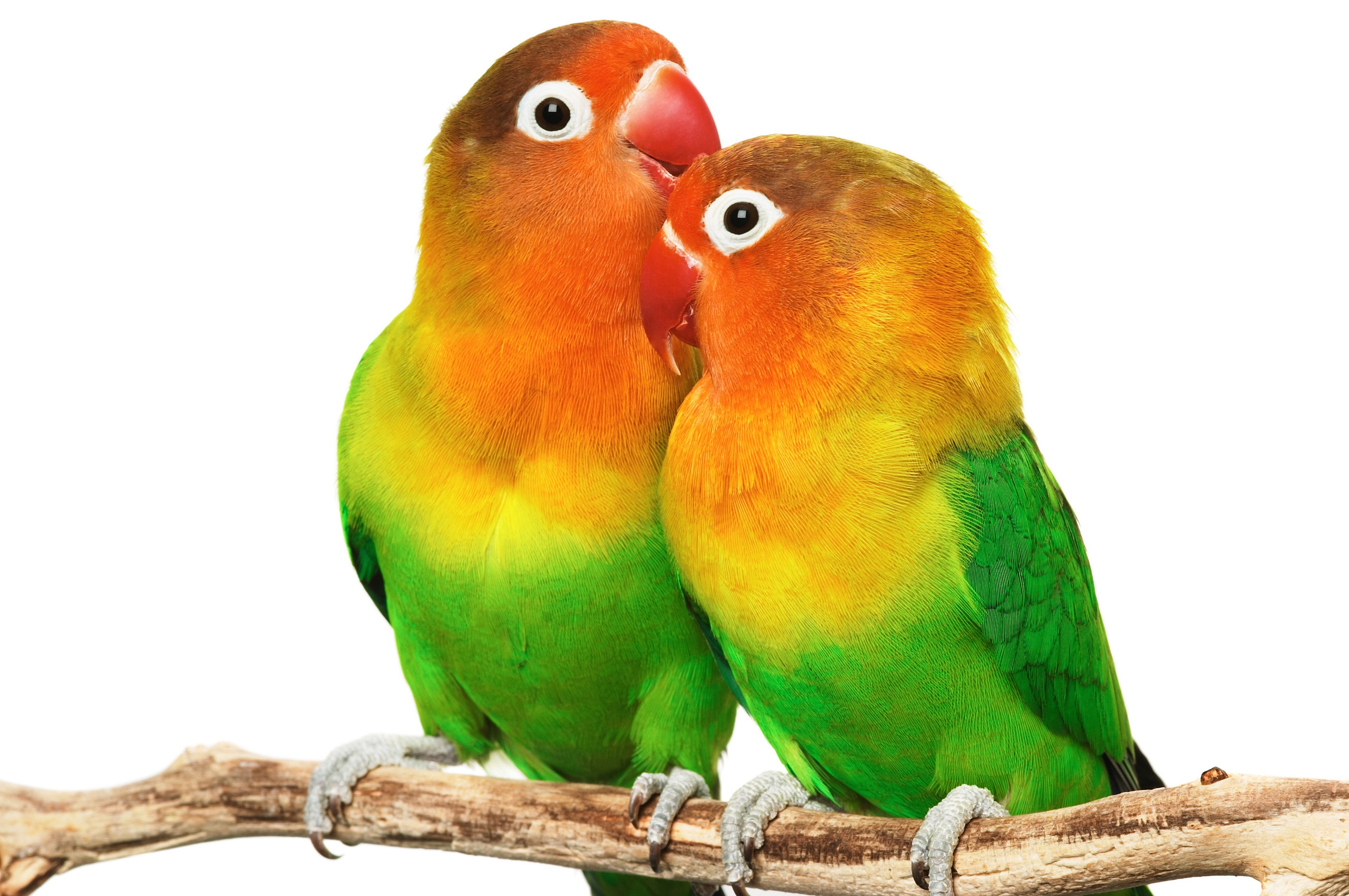 Awesome Love Birds Full Scree