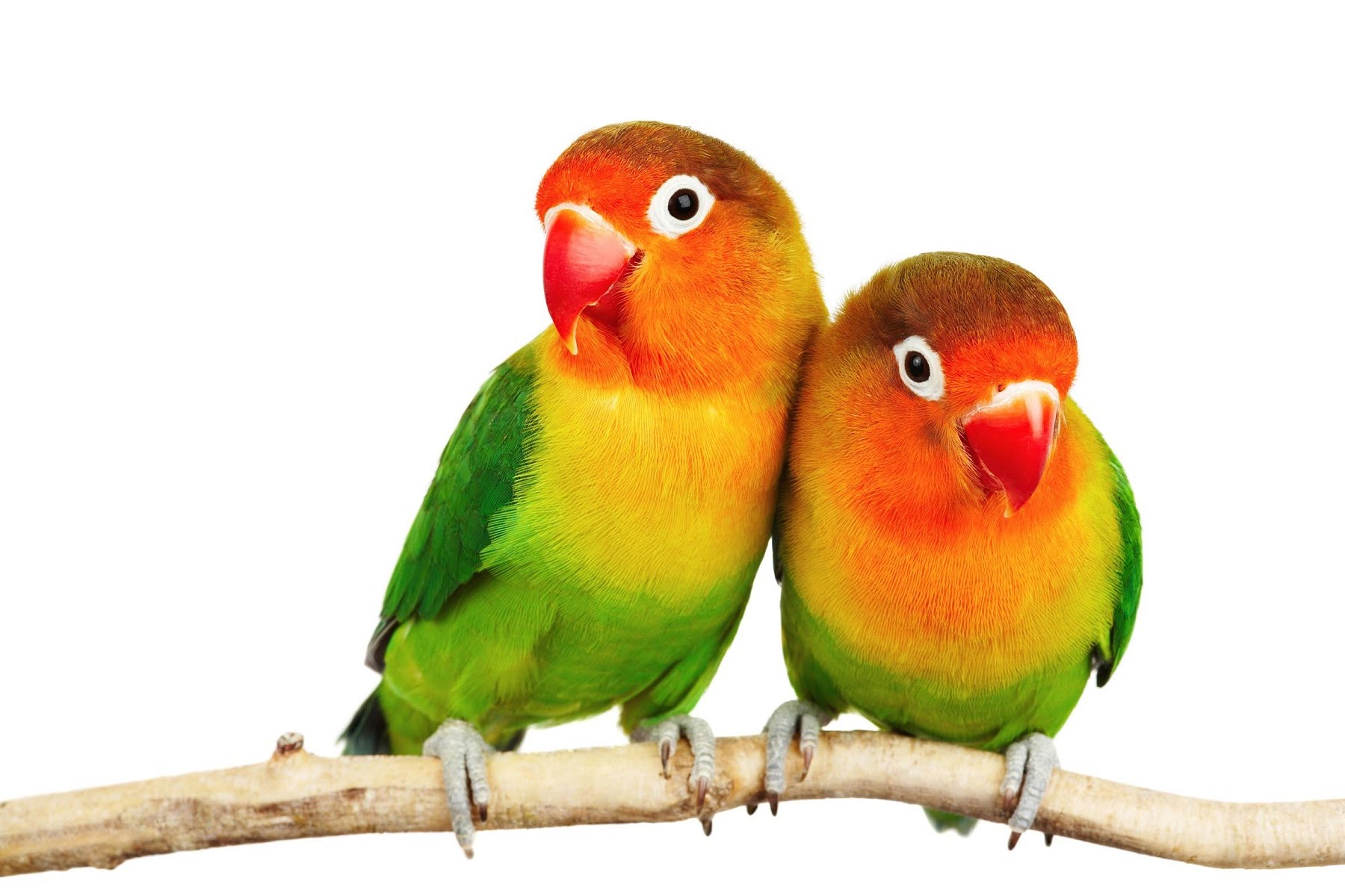 Lovebird Png Hd Transparent Lovebird Hd Png Images Pluspng
