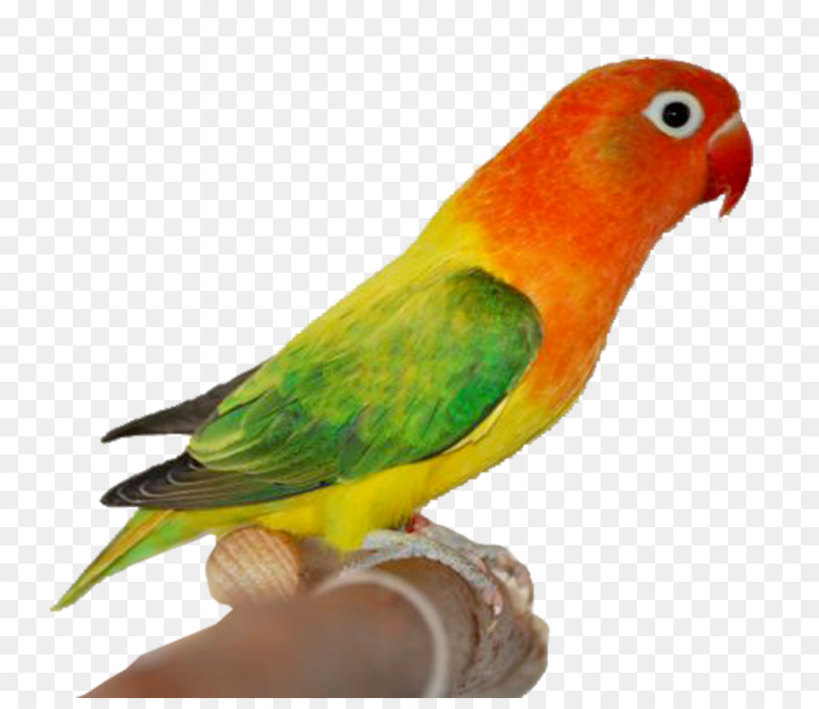 Lovebird Png Hd Transparent Images Pluspng Fischeru0027s Lutino Rosy Faced