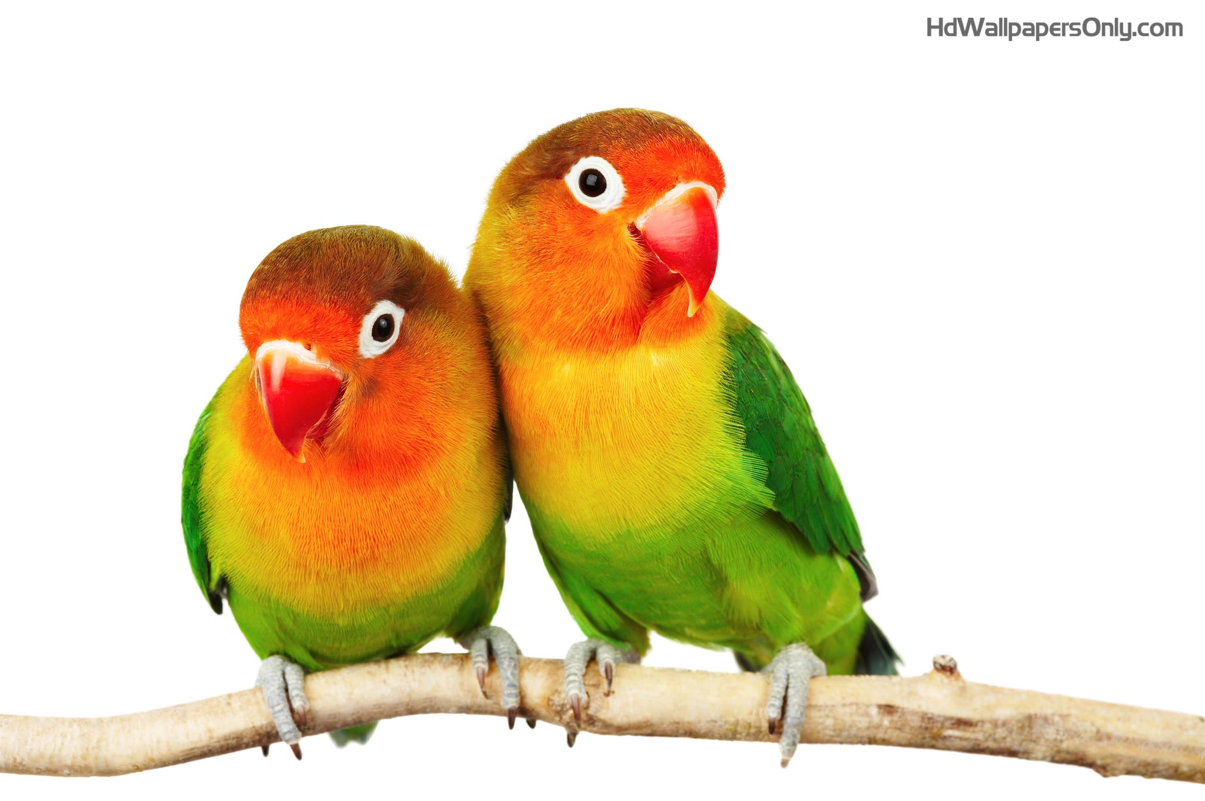 lovebirds png hd transparent lovebirds hd png images pluspng