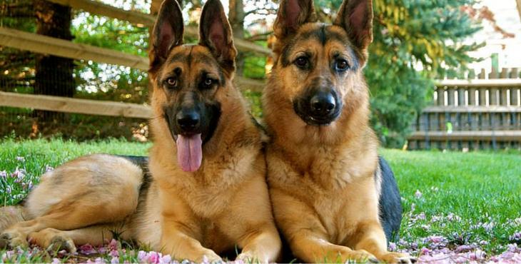 Loyal Dog PNG-PlusPNG.com-730 - Loyal Dog PNG