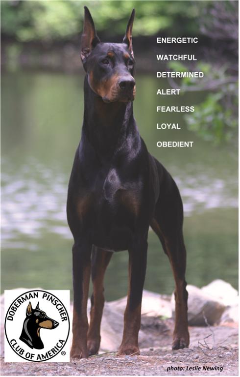 Doberman Pinscher - Loyal and Fearless - Loyal Dog PNG
