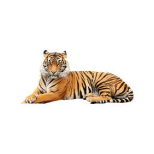 Tiger lying down transparent