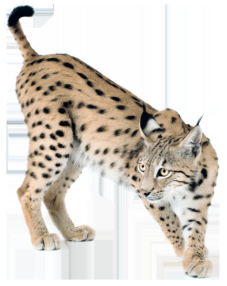 Lynx PNG - Lynx HD PNG