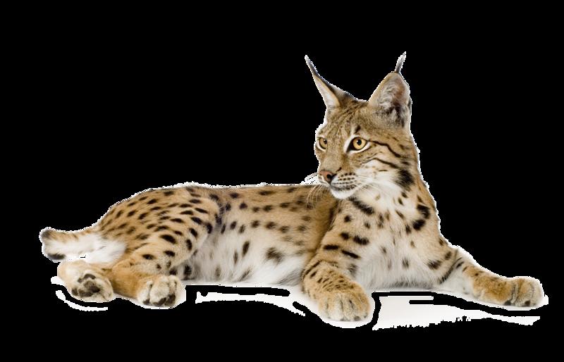Lynx PNG - Lynx PNG - Lynx HD PNG