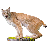 Similar Lynx PNG Image - Lynx HD PNG