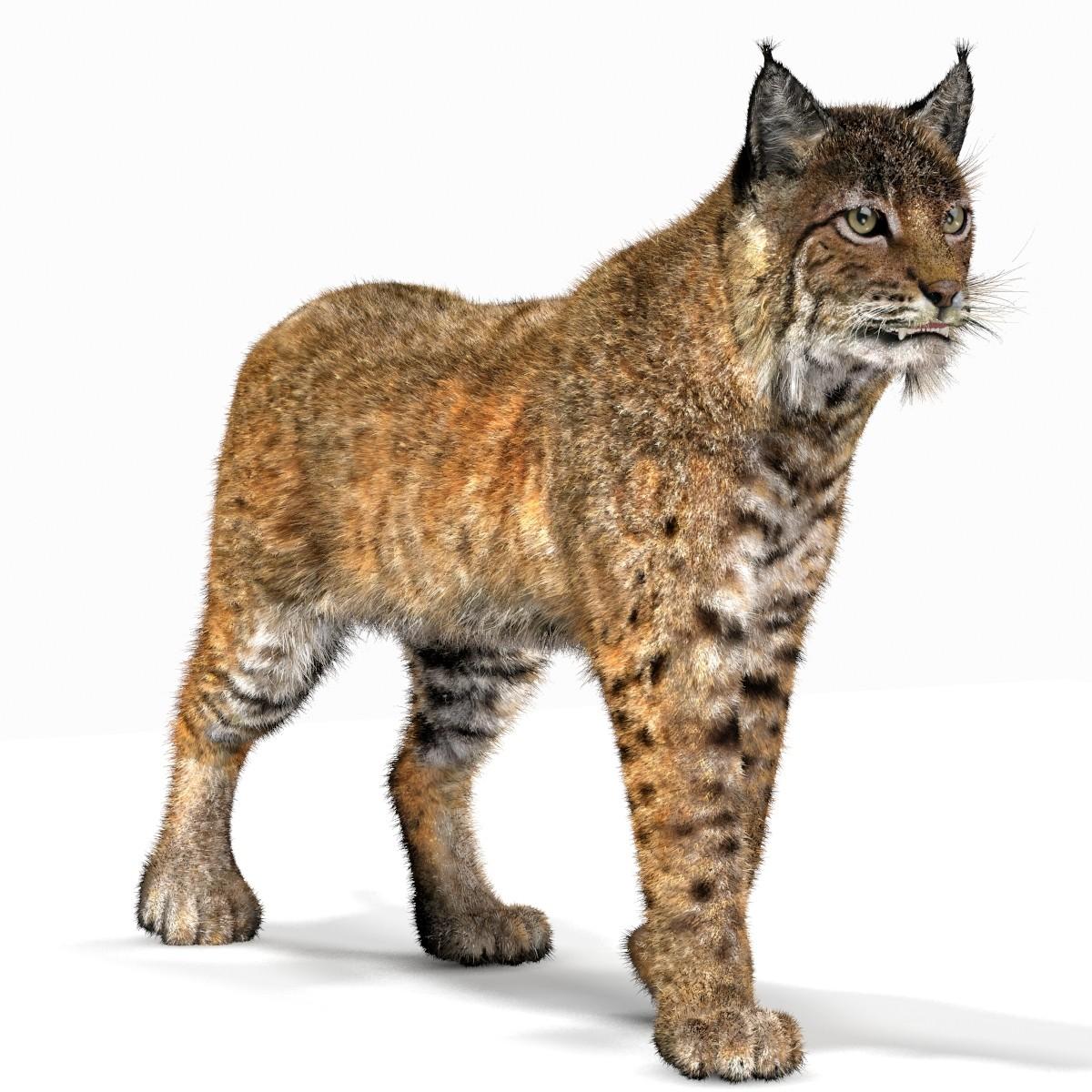 Bobcat (Animated, fur) (Lynx Rufus) - Lynx PNG