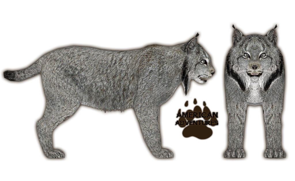 Canadian Lynx.png - Lynx PNG