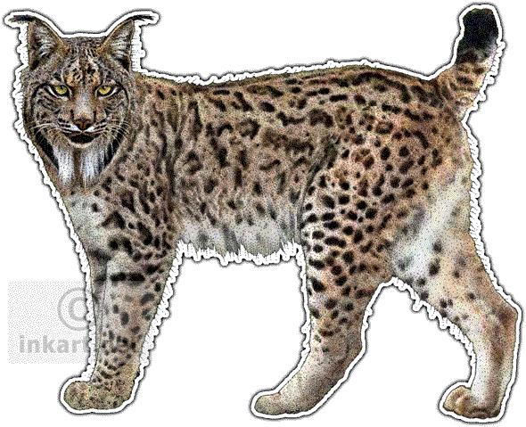 Iberian Lynx Art decal - Lynx PNG