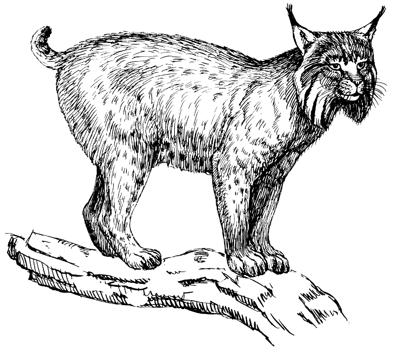 lynx - Lynx PNG