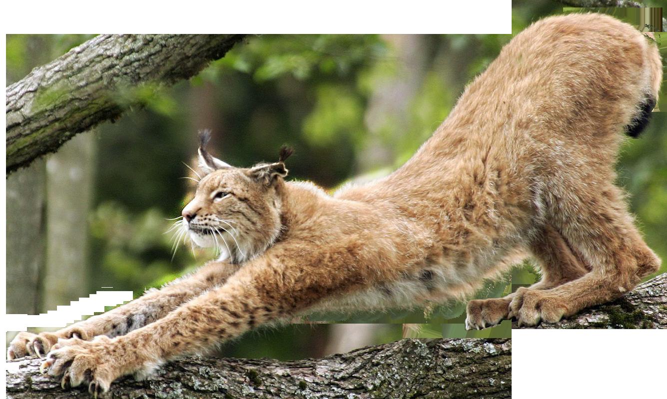 Lynx PNG - Lynx PNG