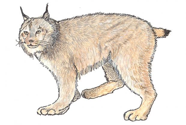 Photo: Biodôme - Lynx PNG
