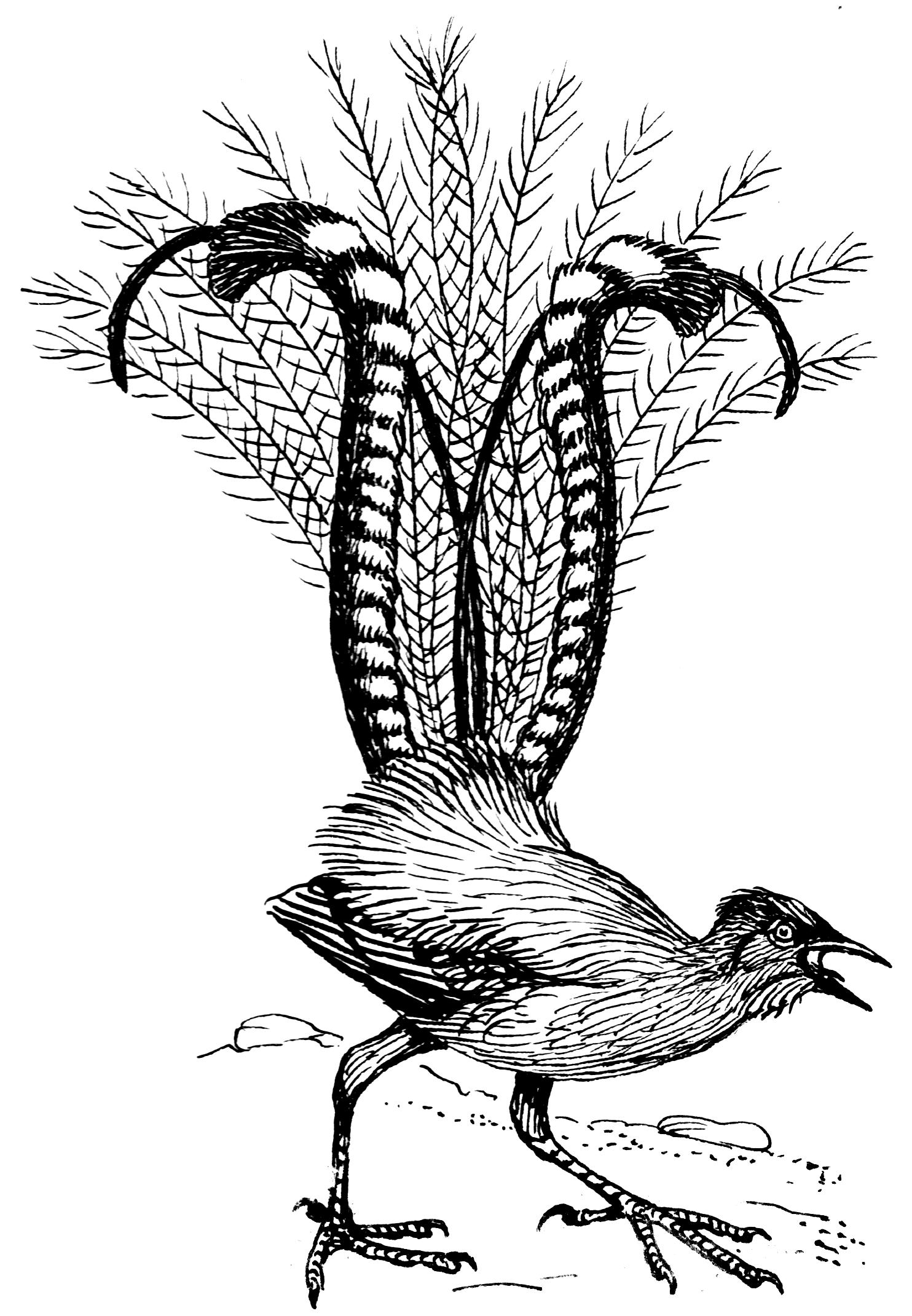 File:LyreBird (PSF).png - Lyrebird PNG