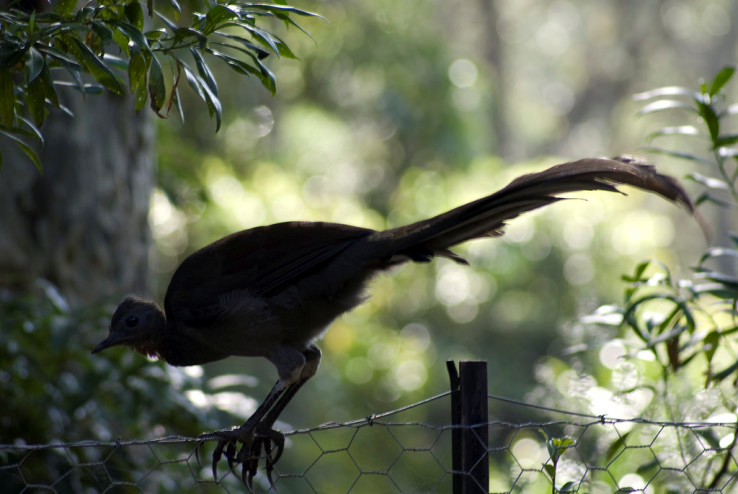 Lyrebird.png - Lyrebird PNG
