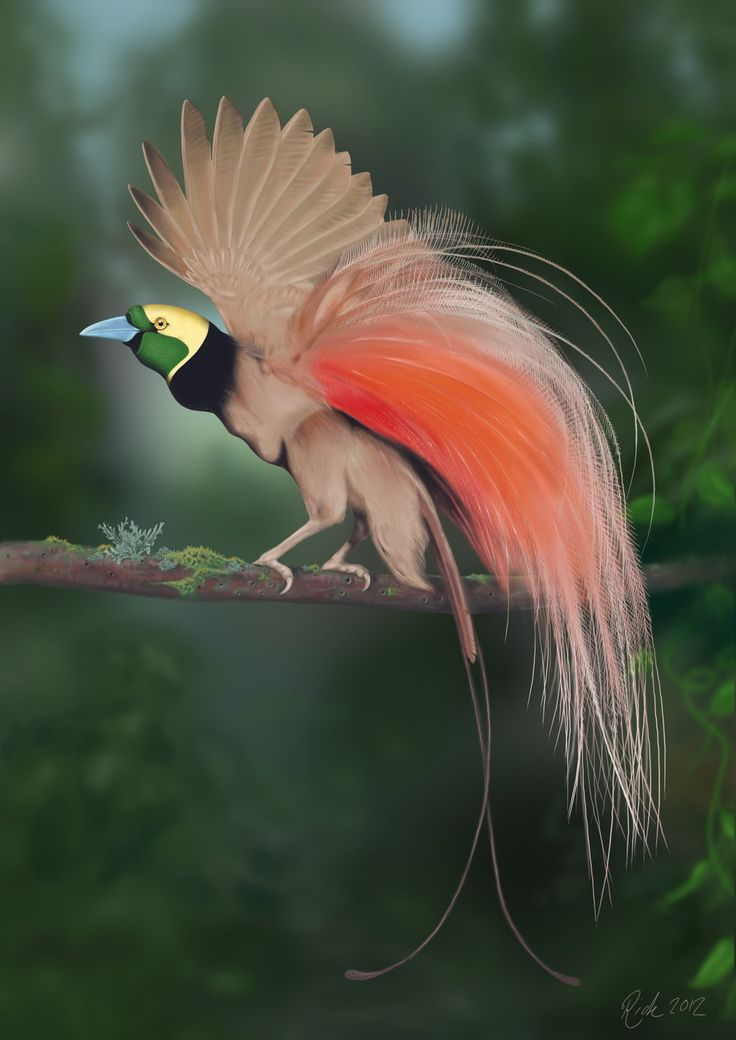 Raggiana Bird-of-Paradise - (Paradisaea raggiana) is the national bird of Papua  New Guinea and in 1971 this species was included on the national flag. - Lyrebird PNG