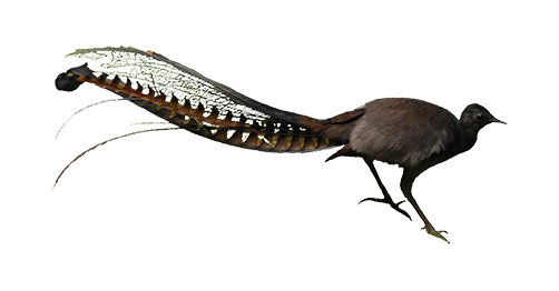 The forests of Mountain Ash and fern gullies are where you can listen to  the amazing repertoire of the Superb Lyrebird. - Lyrebird PNG