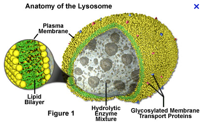 Lysosome PNG - 61203