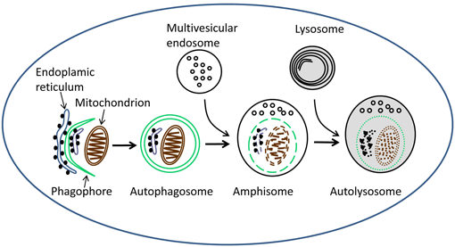 Lysosome PNG - 61204