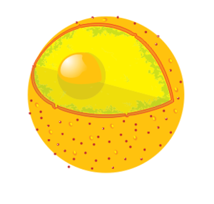 Lysosome Digests organelles, food particles and viruses. - Lysosome PNG