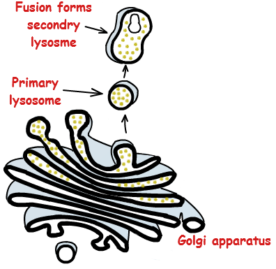 Lysosome Formation - Lysosome PNG