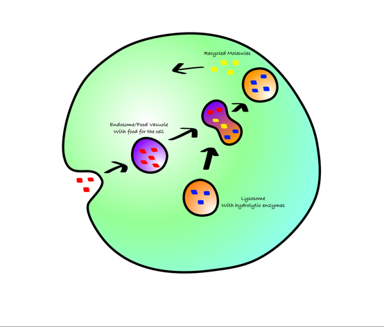 Lysosomes - Screen 10 on FlowVella - Presentation Software for Mac iPad and  iPhone - Lysosome PNG