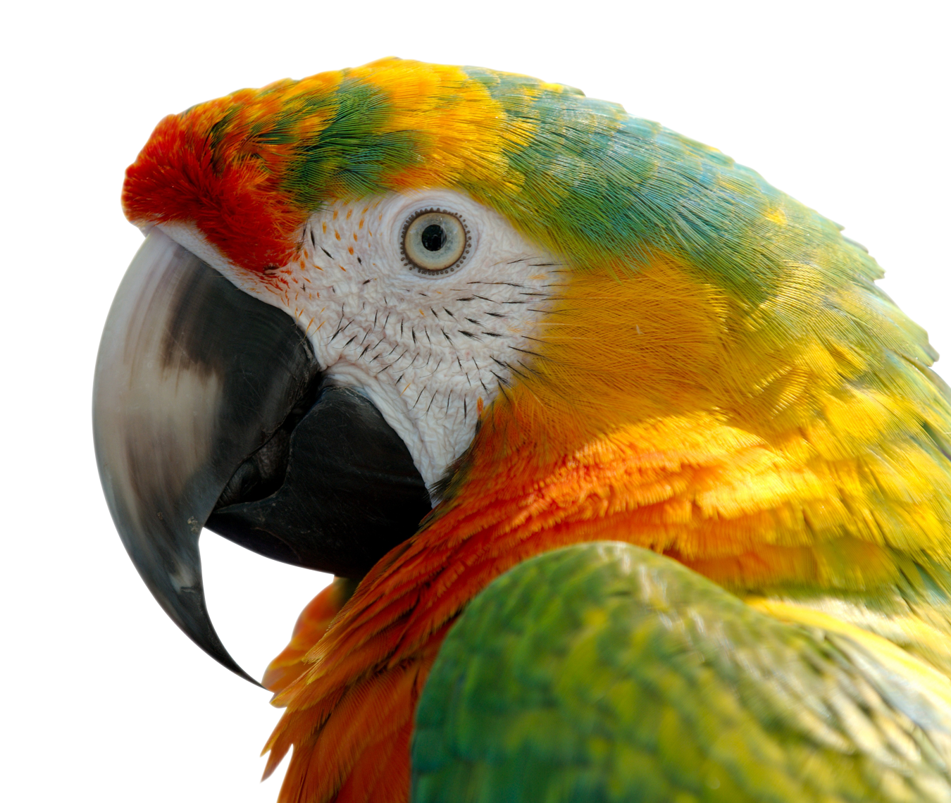 Huge item macaw 01.png