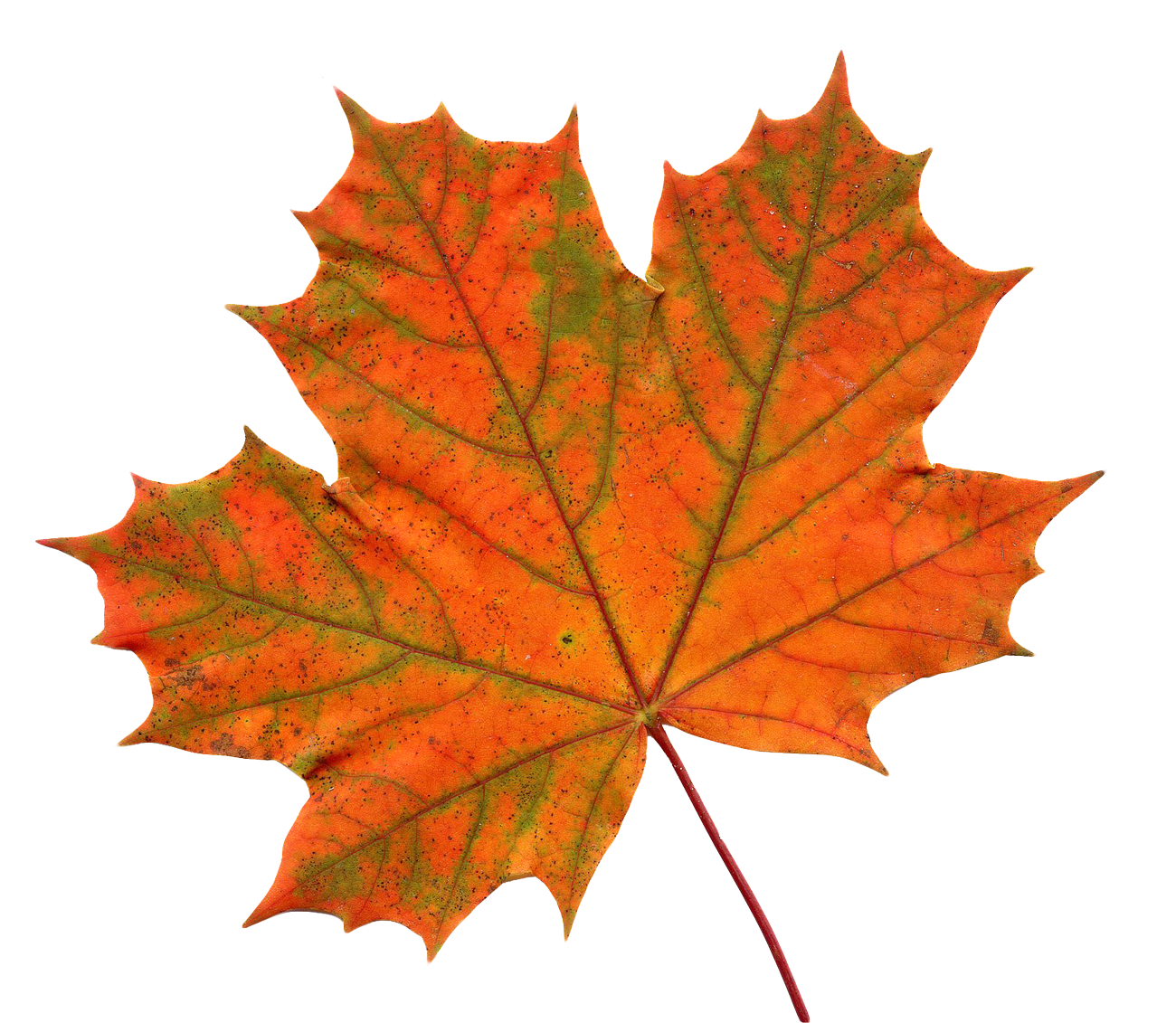 Maple Leaf PNG - 9274