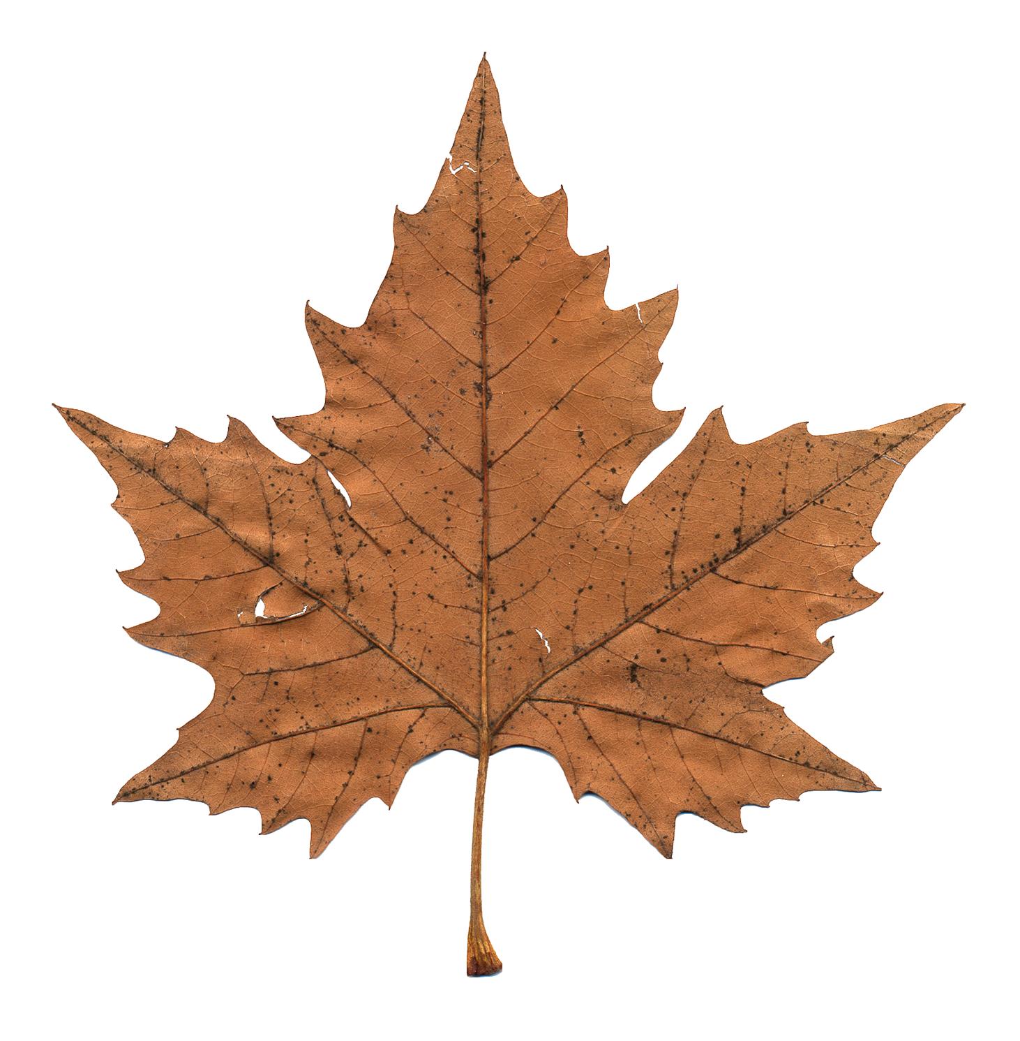 Maple Leaf PNG - 9269
