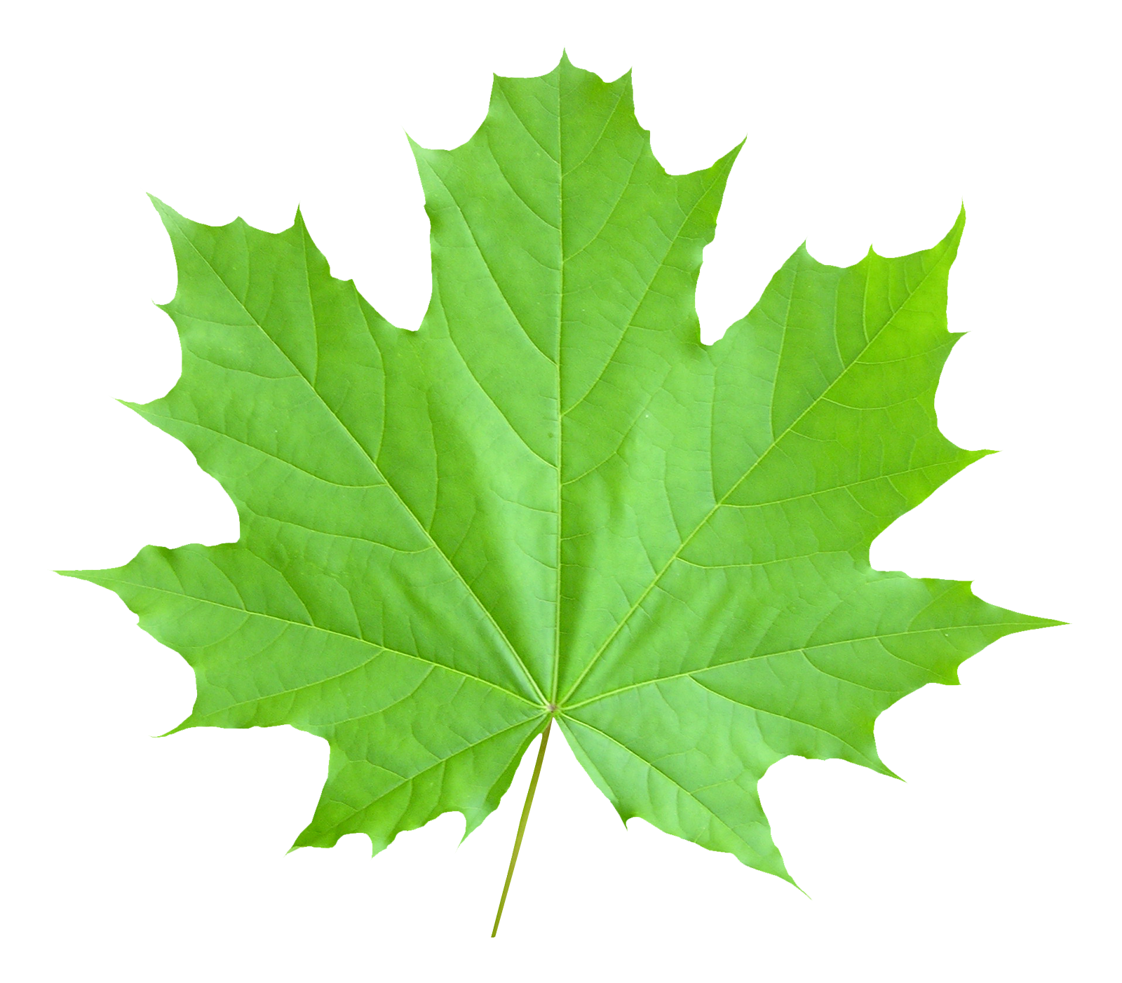 Maple Leaf PNG - 9279