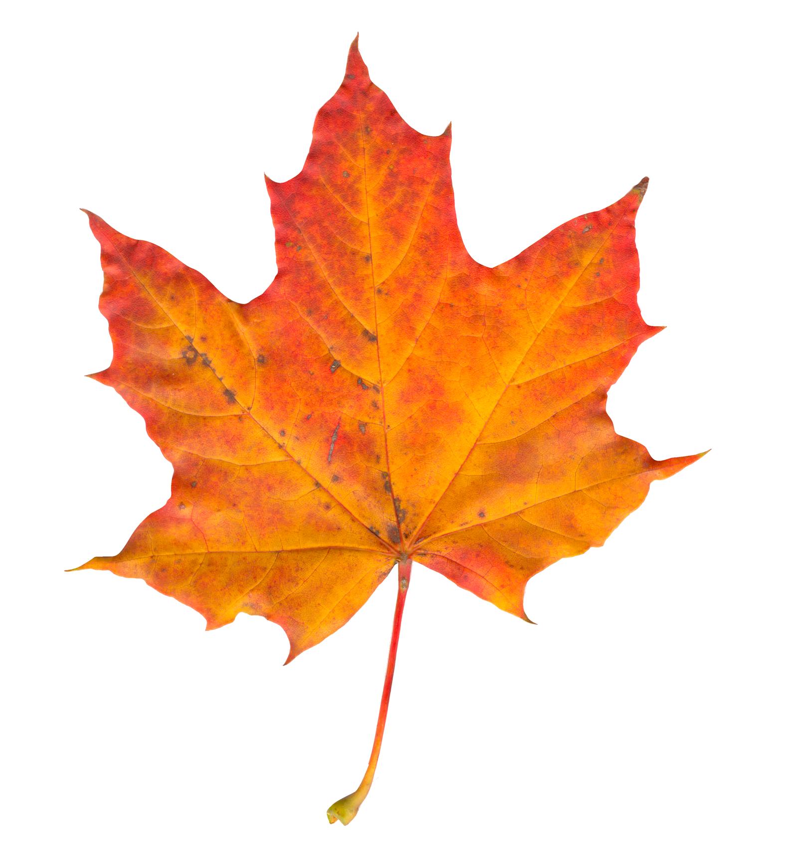 Maple Leaf PNG - 9271