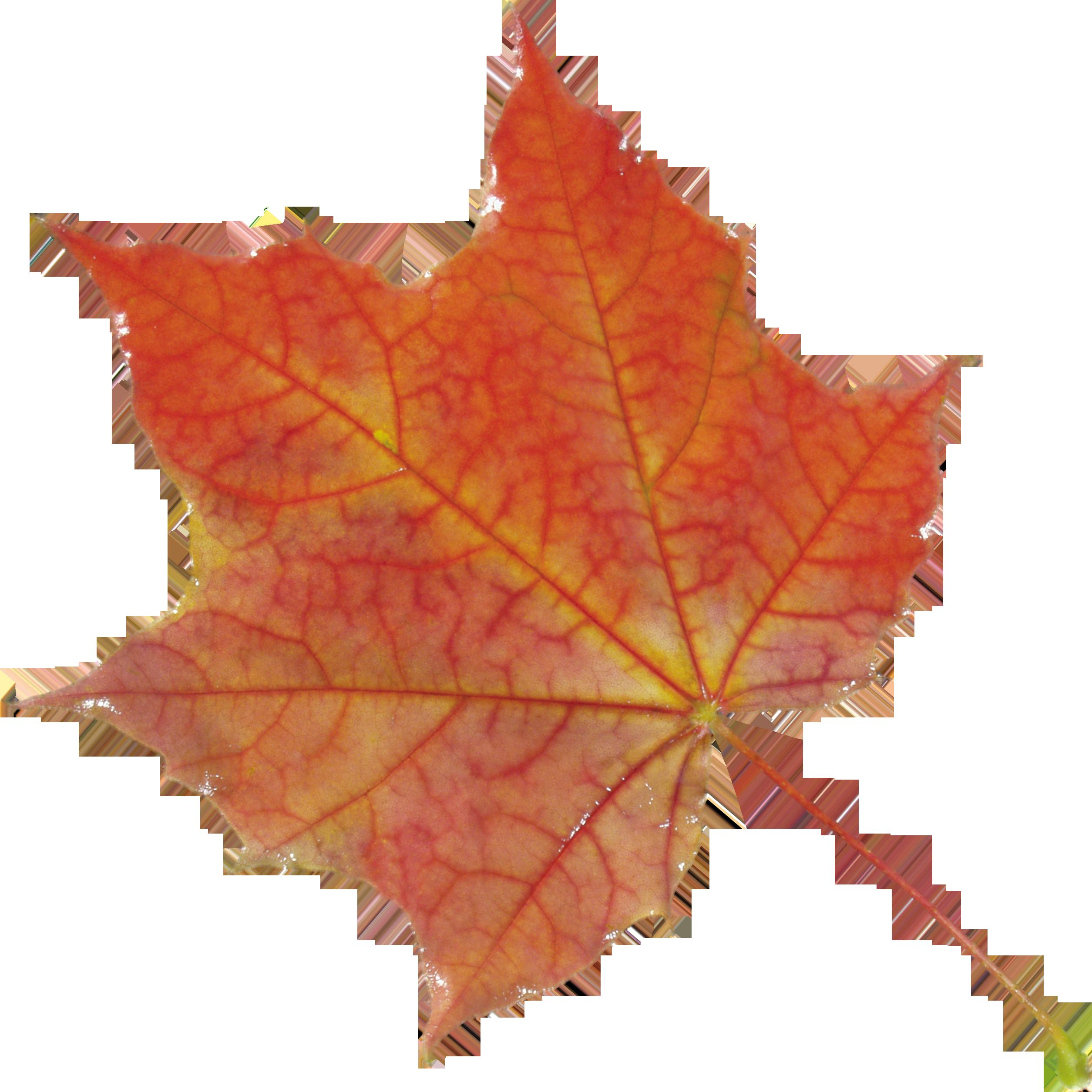 Maple Leaf PNG - 9268