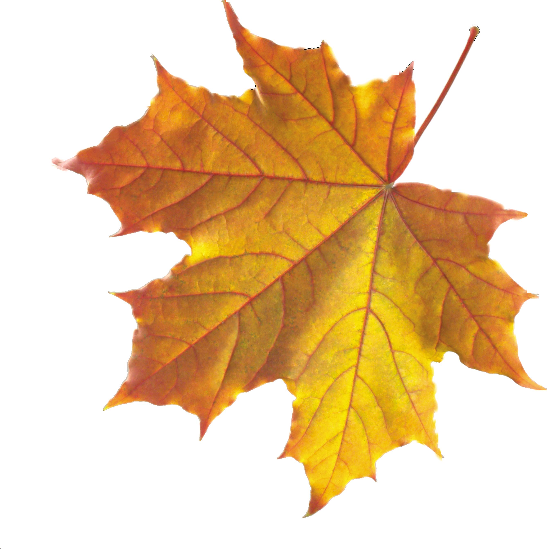 Maple Leaf PNG - 9282