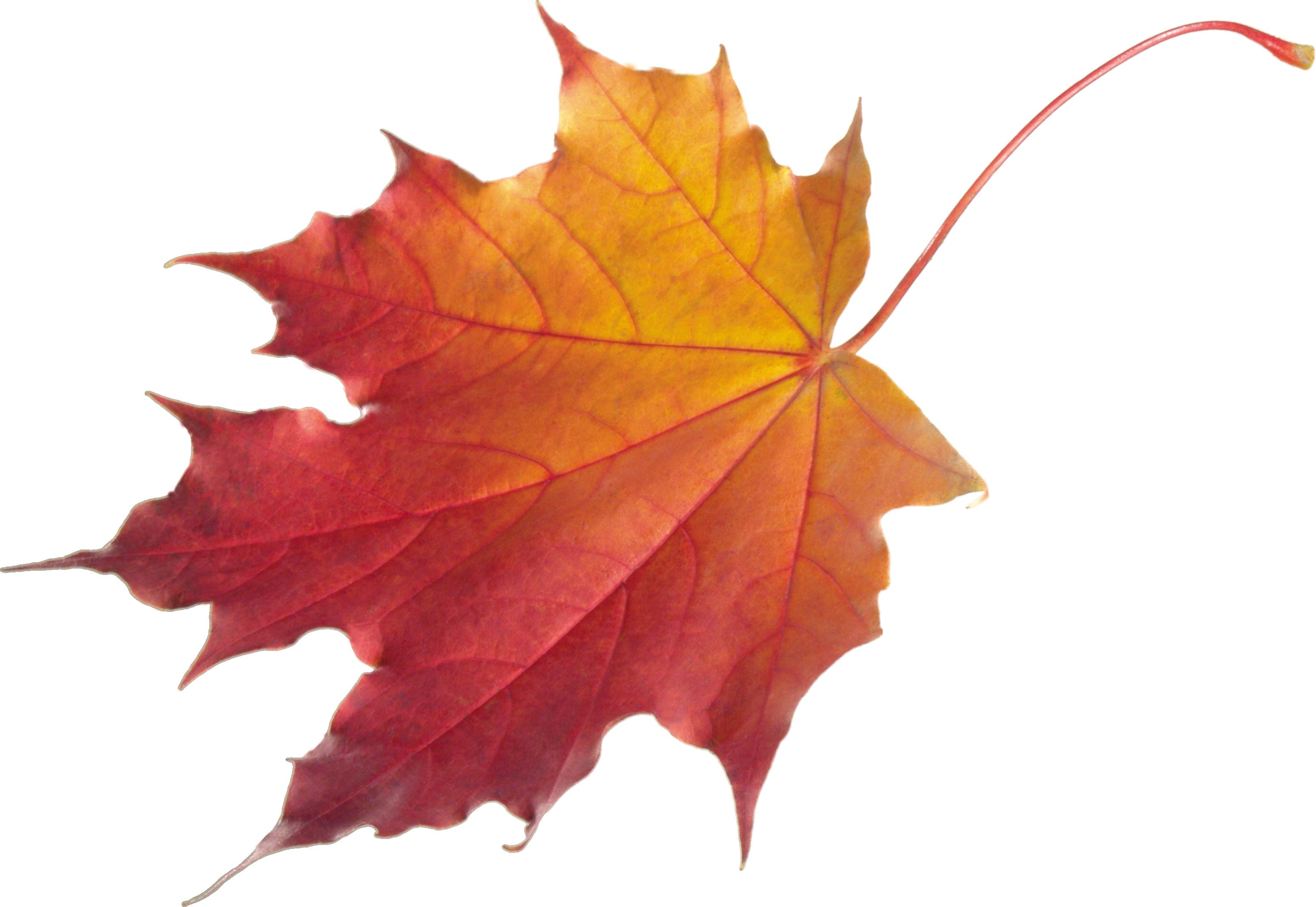 Maple Leaf PNG - 9266