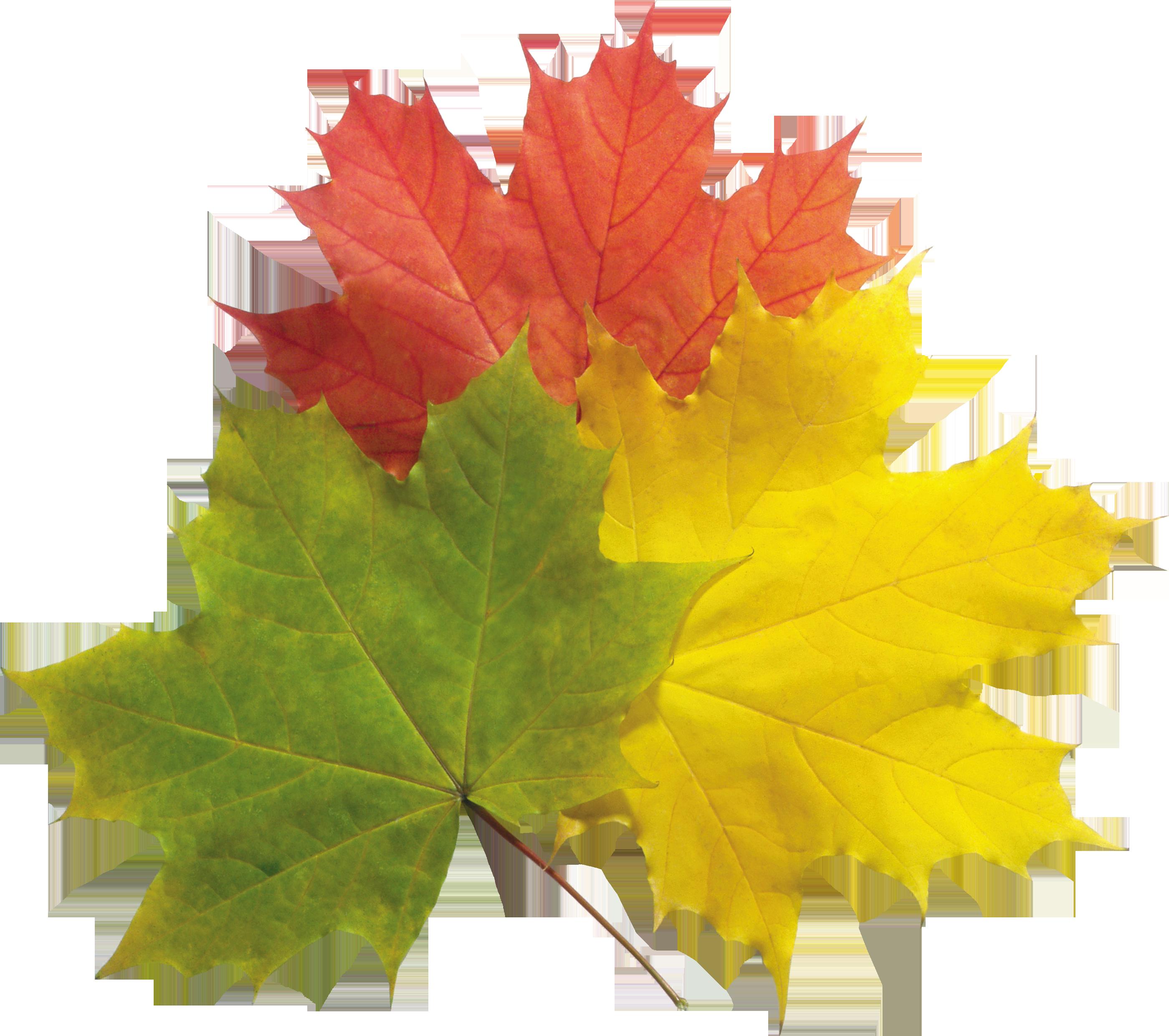 Maple Leaf PNG - 9273