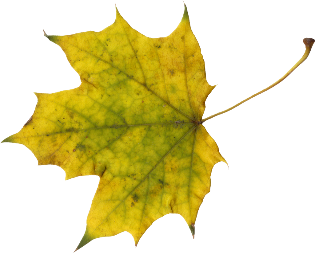 Maple Leaf PNG - 9278