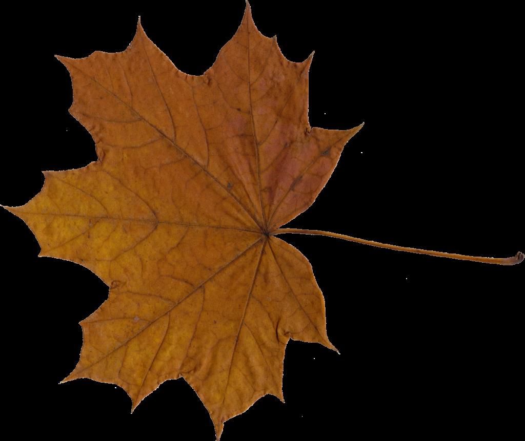 Maple Leaf PNG - 9276