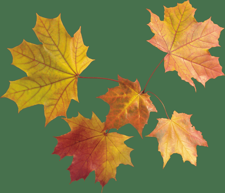 Maple Leaf PNG - 9270