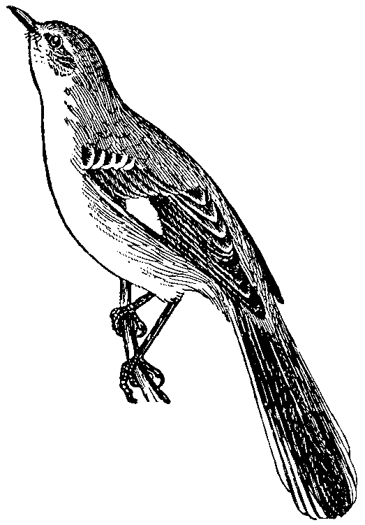 File:NSRW Mockingbird.png - Mockingbird PNG HD