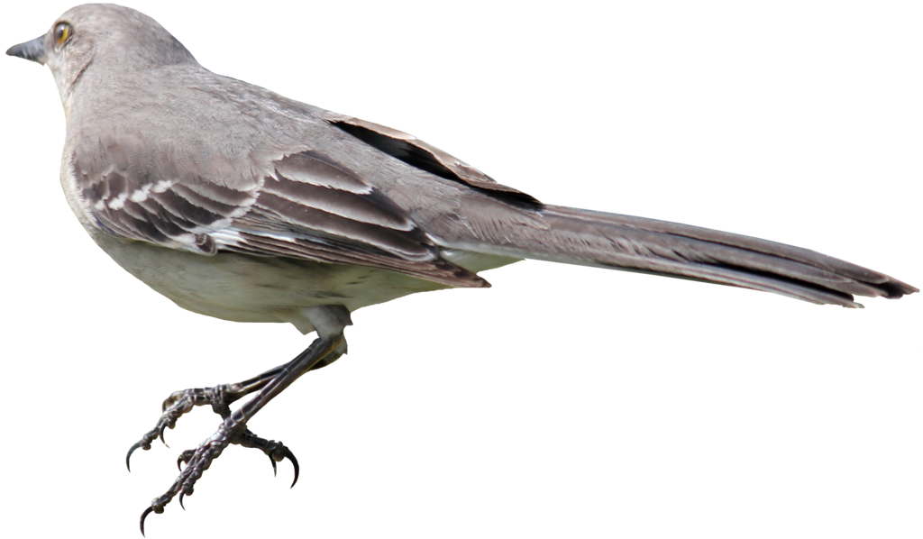 Mockingbird PNG 01 by Thy-Darkest-Hour PlusPng.com  - Mockingbird PNG HD