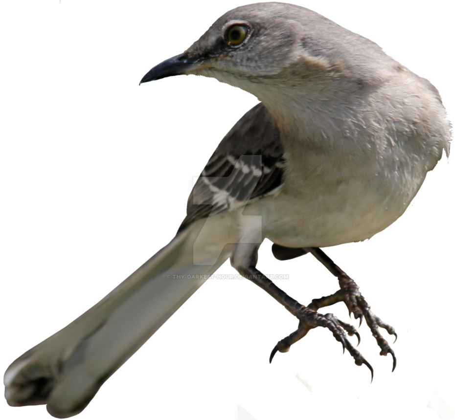 Northern Mockingbird PNG 02 by Thy-Darkest-Hour PlusPng.com  - Mockingbird PNG HD