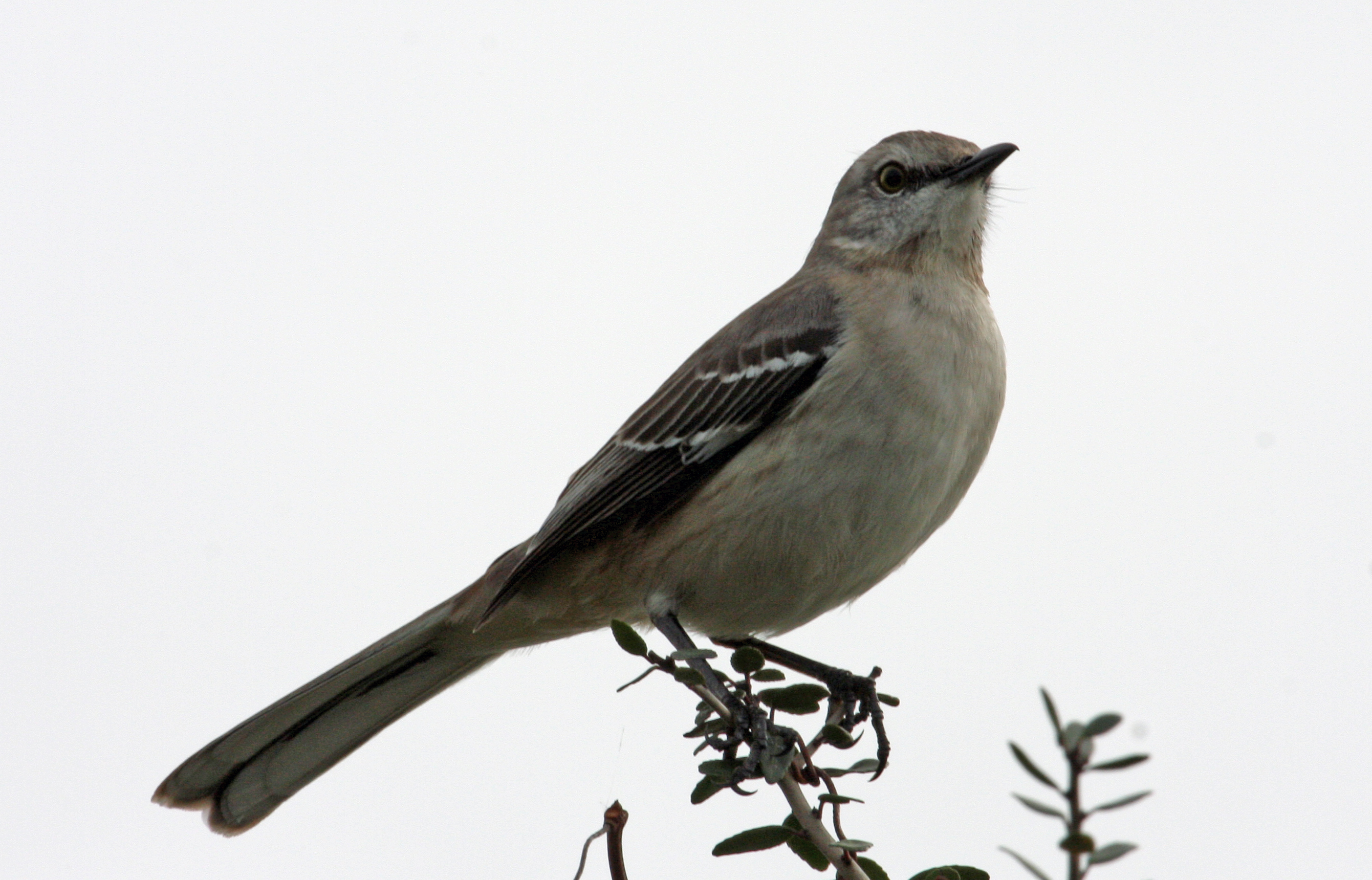 northern mockingbird on tree