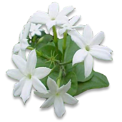 Mogra Flower PNG - 42380