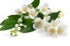 Mogra Flower PNG - 42392