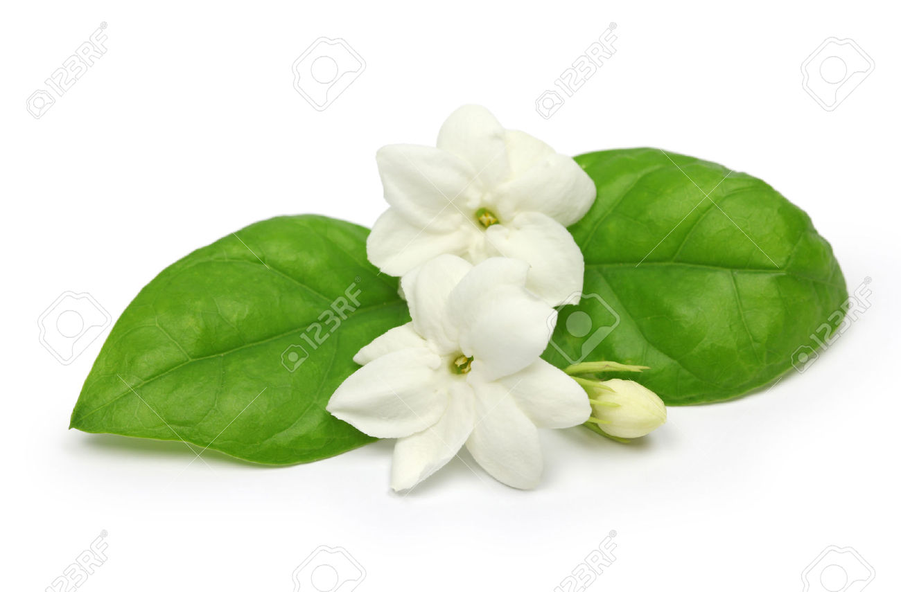 arabian jasmine, jasminum sambac, flower and leaves, jasmine tea flower  isolated on white - Mogra Flower PNG