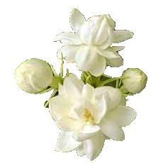 Mogra Flower PNG - 42390