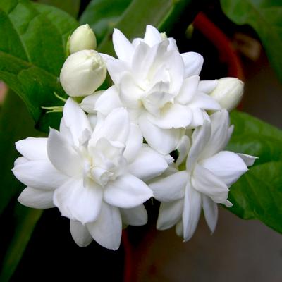 Free Mogra Plant. Note: PlusPng.com  - Mogra Flower PNG