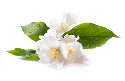 Jasmine Essence Oil - Mogra Flower PNG
